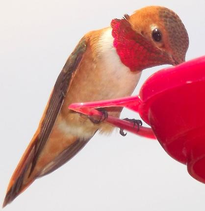algoressister photo of male rufous hummingbird