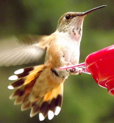 algoressiter photo of hummingbird in North Bend
