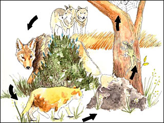 OSU study: Killing wolves leads to too many coyotes