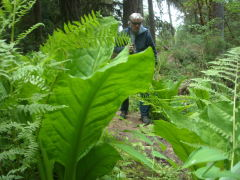 skunk cabbage on north umpqua trail