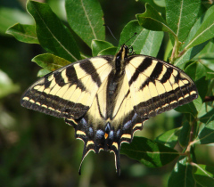Western Tiger Swallowtail lands