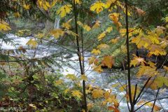 Salmon Creek  Fall Color
