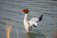 Common Merganser in Ayres Lake, N. Delta