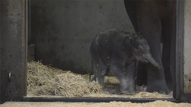 baby elephant one day old (4)