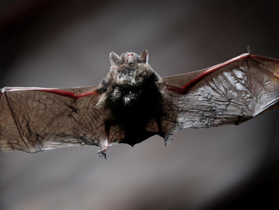 Biologists suspect bats are source of rabies outbreak