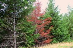 Red Fir Tree