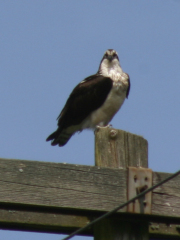 Osprey Near River Road
