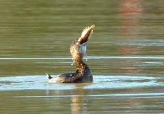 Determined grebe swallows huge fish