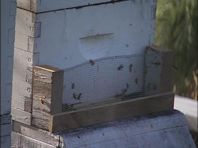 Bucket of American Foulbrood puts Eugene bees in peril