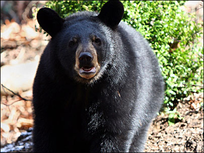 Bear, possibly injured, on the loose in Oakridge