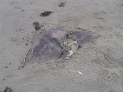 Stingray on the Oregon coast?