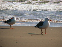 wandering seagulls
