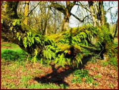 Moss & Ferns on Oak tree