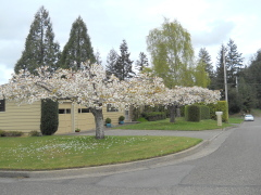 Blooming in North Bend