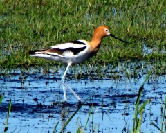 Rare Sighting  American Avocet