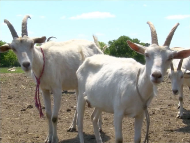 Essay contest for goat farm giveaway