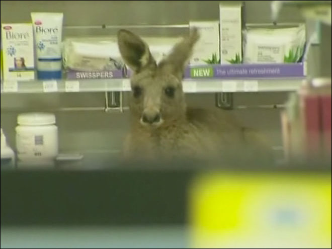Kangaroo found hopping around at airport