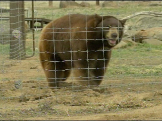 Meatball the bear's name stirring controversy