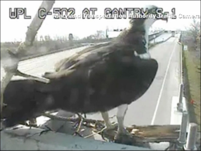 Two ospreys move in right in front of a traffic camera