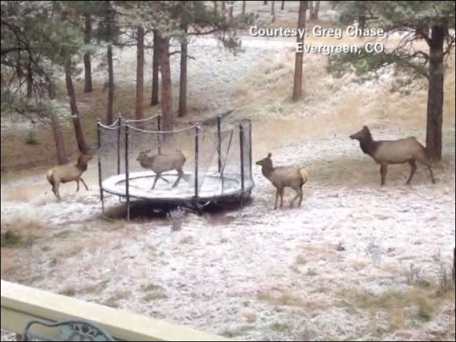 Take a Look at This: Elk on a trampoline