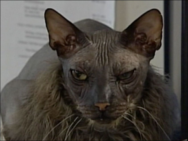 """Ugly bat boy"" cat dies"