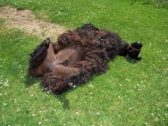Blacky the Llama sunbathing
