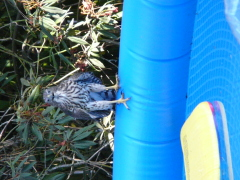 Bird Attempts to Get Wet in Our Backyard
