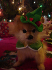 Holly Jolly Pomeranian