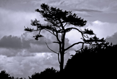 Coastal Tree Silhouette