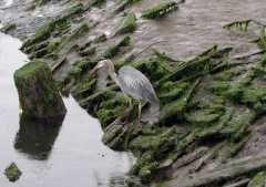 Blue Heron in Florence