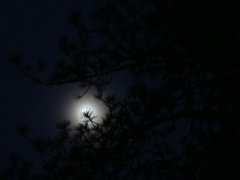 The moon through the Pine tree