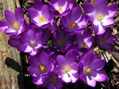The Crocus are out.