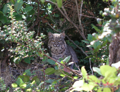 Bobcat in My Yard