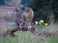 Main Coon in the Springtime...