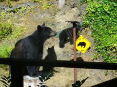 Lane County wildlife-The 3 Bears