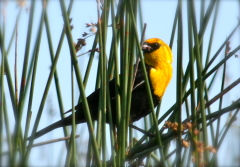 Yellow-Headed Black Bird