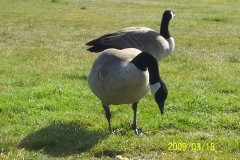 2 wild geese who stop by for breakfast