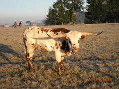 TEXAS LONGHORN IN OREGON