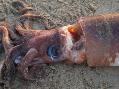 dozens of beached Giant Squid