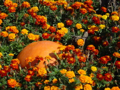 Pumpkin in Love with Marigolds,