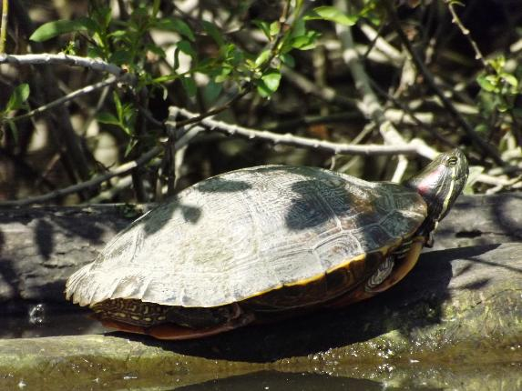 felinesoul photo of turtle sunning itself near Albany