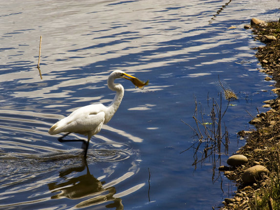 kmd49 photo of an egret at Delta Ponds