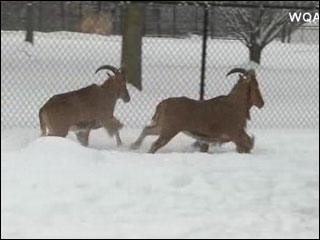 Caring for zoo animals in the snow