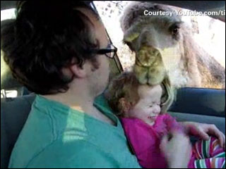 Camel closes jaws on giggling toddler's head