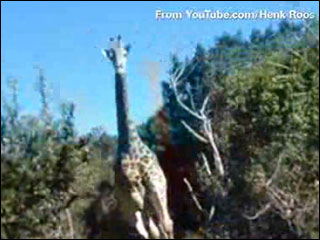 Chased by a giraffe