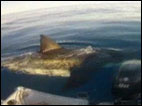 Great White shark shocks fishermen