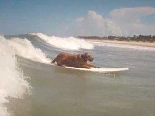 Dog hits the waves on surfboard