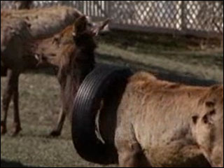 Elk with tire stuck around neck