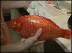 Giant goldfish caught outside Detroit