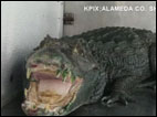 "Gator named ""Mr. Teeth"" found guarding pot"